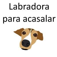 Labradora para acasalar